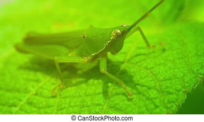 Grasshopper in their natural habitat closeup - Video 1080p -...