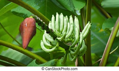 Banana flower with immature fruit after rain - FullHD video...
