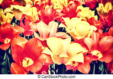 Closeup of multicolor tulips - Spring flowers Closeup of...