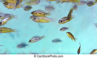 Aquarium in Cambodia with some species of Cichlid fish...