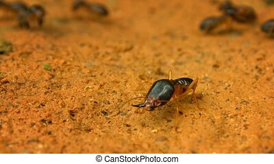 Termite - soldier guarding his family