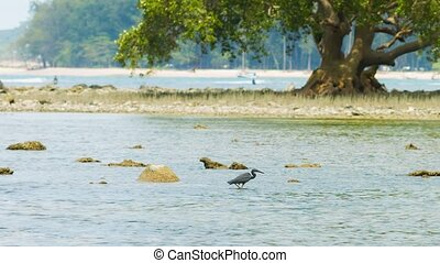 Heron fishing in a tidepool with an old mangrove in the...