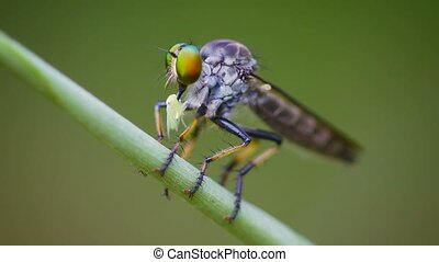 Asilidae (robber fly) sits on a grass with prey. Thailand -...