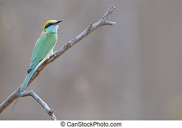 Green Bee-eater. - Green Bee-eater on brench.
