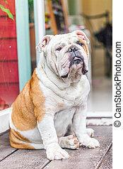 old english bulldog sitting