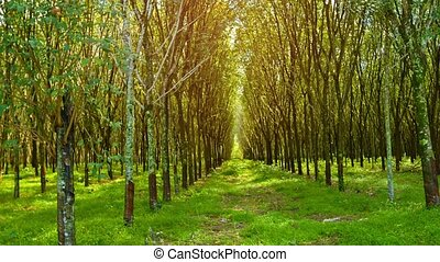 Rubber Trees in Neat Rows on a Plantation in Thailand -...