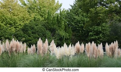 Pampas Grass Taken in Japan in the autumn