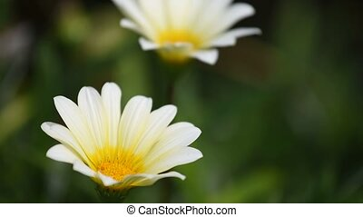 Gazania flowers over green background Taken in Japan in the...