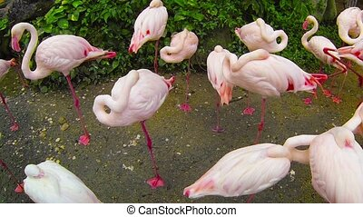 Pink Flamingos at a Park in Thailand - 1080p video - Flock...