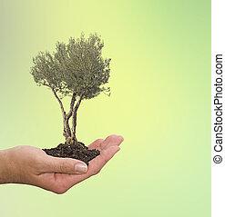 azeitona, árvore, em, mão, como, Um, PRESENTE,...