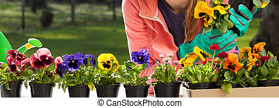 Colorful pansy flowers in pots and young gardener