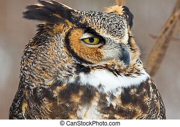 Great Horned Owl Close Up
