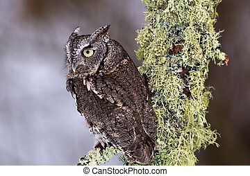 Eastern Screech Owl sits on a lichen covered branch.