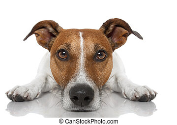 dog looking at you - jack russell dog looking and staring at...