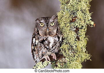 Eastern Screech Owl perches on lichen covered branch