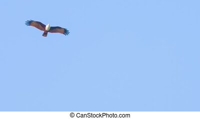 Brahminy Kite Soaring in Search of Prey - Video 1920x1080 -...