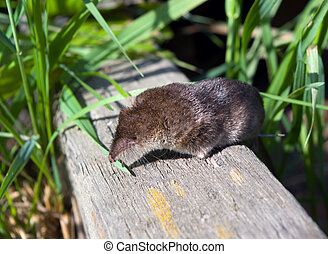 shrew on surfaces,small animal,mammal,rodent