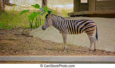 Zebra Grazing Nervously in His Zoo Enclosure - FullHD video...