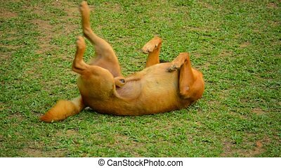 Male Dog Rolling in Grass at Vang Vieng, Laos