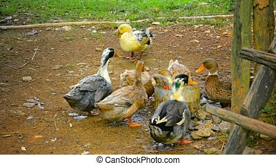 Ducks Drinking from Bucket in Vang Vieng, Laos - Video 1080p...