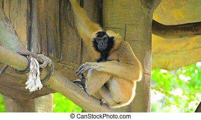 Endangered Lar Gibbon in Tree House Habitat at Chiang Mai...