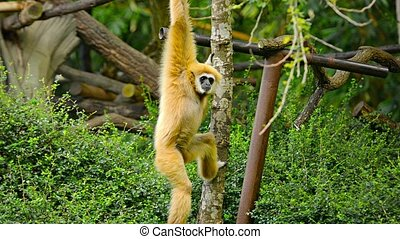 Gibbon Hanging from Tree Branch at Chiang Mai Zoo, Thailand...
