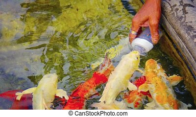 Koi Fish Feeding in Chiang Rai, Thailand - Video 1080p -...