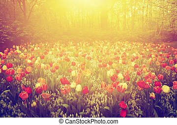 Colorful tulip flowers in the garden on sunny day in spring. Vintage
