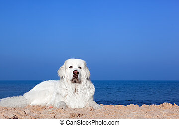 Cute white dog on the beach. Polish Tatra Sheepdog, known...