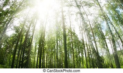 Stand of Birch and Pine Trees from Low Angle - FullHD...