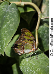 Malachite Butterfly sitting on leaf with wings closed