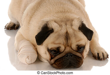 veterinary care - pug dog with bandaid on paw