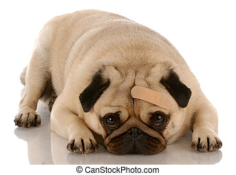 veterinary care - pug dog with bandage on forehead
