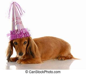 穿, 有毛發, 狗, 長, 微型畫, 生日, 女孩, 帽子, 德國獵狗