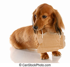 miniature long haired dachshund wearing cardboard sign...