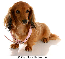 puppy growth - miniature dachshund wearing a dog collar that is too big