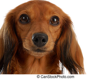 portrait of miniature long haired dachshund dog on white...