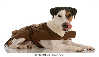 smooth coat tri-colored jack russel terrier wearing dog coat...