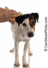jack russel terrier dog being brushed or groomed