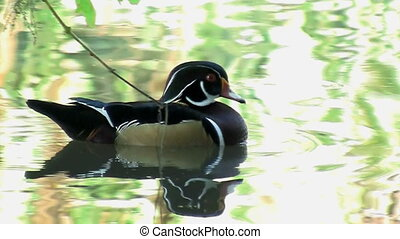 Wood Duck Swimming - Wood duck swimming