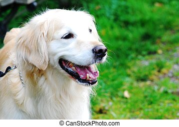 Happy dog - A happy golden retriever dog in the park