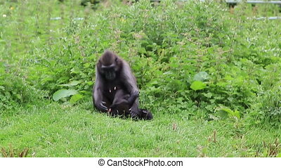 Female Sulawesi crested macaque with cub. Republic of...