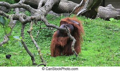 Male Bornean orangutan itches. Republic of Ireland.