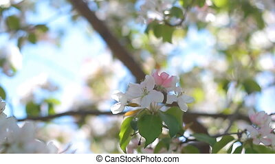Apple flower - photo of blossoming tree brunch with white...