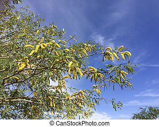 Mesquite Flowering in Spring - Mesquite tree twigs with...