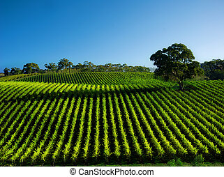 Vivid Vineyard - Beautiful Vineyard Landscape with large gum...