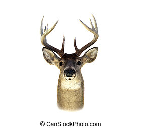 Whitetail Deer Head Isolated - An isolation of a mounted...
