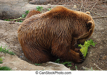The brown bear eats in zoo