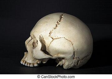 cranium - Homo sapience cranium isolated on black background