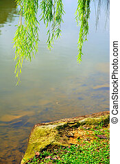 Weeping willow tree above a rock at a river bank,...